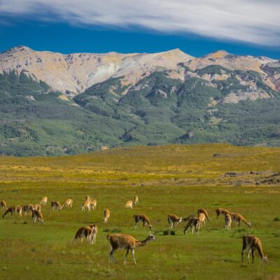 Guanacos grazing in Chacabuco river valley - Valle Chacabuco Section, Patagonia National Park Chile.